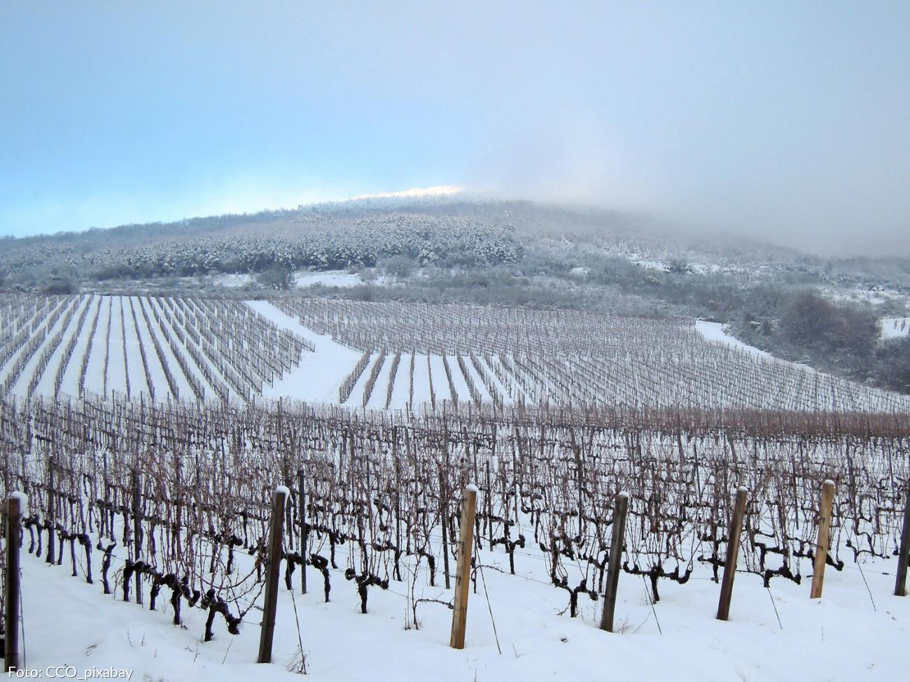 Weinberg im Winter